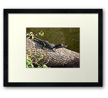 Little Baby Gator Framed Print