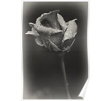 Gray rose Poster