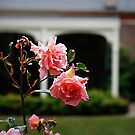 Rose at Olverston, Dunedin by Marcia Luly