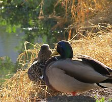 Mallard Ducks ~ Morning Light by Kimberly Chadwick