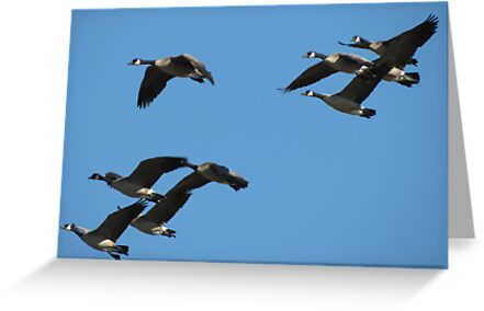 Canada Geese in Flight by Kimberly P-Chadwick