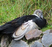 Andean Condor on a Rock by rhamm