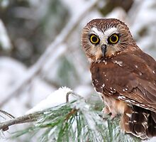 Saw-whet Owl by Nancy Barrett