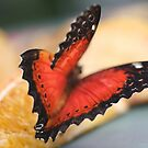 Malay Lacewing by Astrid Ewing Photography