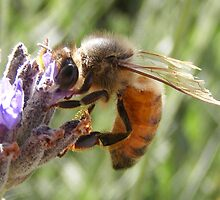 Busy Bee on Lavender. by Esther's Art and Photography