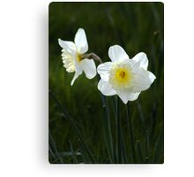 White Daffodils Canvas Print