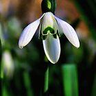 Good Morning Little Snowdrop by Jo Nijenhuis