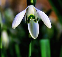 Good Morning Little Snowdrop by Jo Nijenhuis