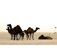 Camel in Abu Dhabi camel market  Photographic Print