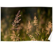 Backlit Grasses..... Poster