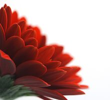 Gerbera Profile by Robert Worth