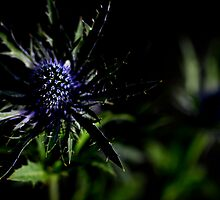Thistle on Black by Robert Worth