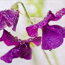 Sweet Pea raindrops by DIANE  FIFIELD