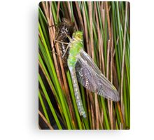 A new dragon waits to fly Canvas Print
