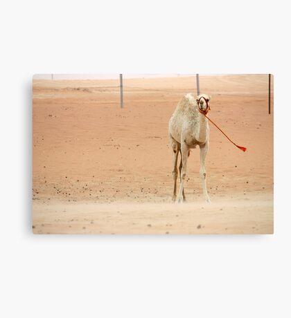 White camel, UAE  Canvas Print