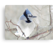 Blue Jay Profile Metal Print