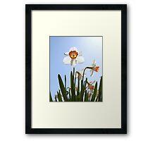 Orange and white daffodils Framed Print