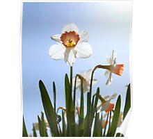 Orange and white daffodils Poster