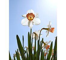 Orange and white daffodils Photographic Print