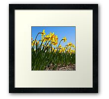 Yellow daffodils Framed Print