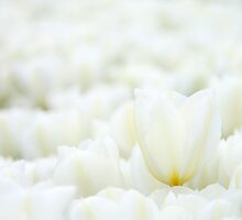 Field of white tulips by raldisomers
