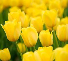 Field of yellow tulips by raldisomers