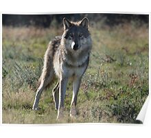 NORTH AMERICAN TIMBER WOLF Poster