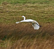 Great White Egret by Jamie  Green