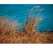 Dune grasses blowing in the wind Photographic Print
