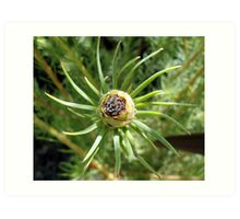 Leucadendron - Jubilee Crown - Laurel Yellow  Art Print