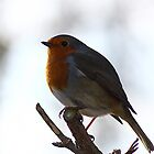 robin red breast by Brett Watson Stand By Me  Ethiopia