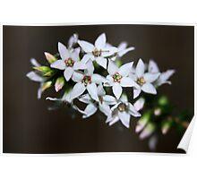 Epacris microphylla  Poster