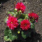 Sunlit Red Dahlias by BlueMoonRose