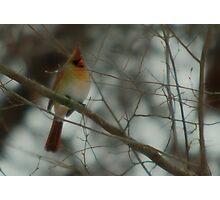 Cardinal - Female Photographic Print