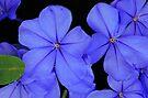 Plumeria Blue by Adam Bykowski