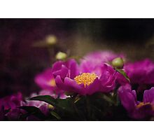 Lovely Peonies  Photographic Print