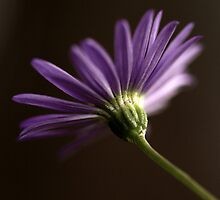 Australian Native Daisy by Clare Colins