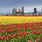 Tulip Fields in Bloom at a Bulb Farm by Jeff Goulden