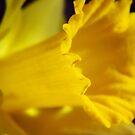The First Daffodil by WildestArt