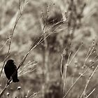 Redwing Blackbird by Garth  Helms