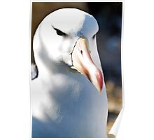 Black-browed Albatross, West Falkands Poster
