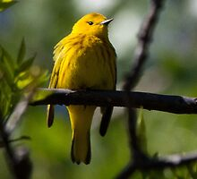 Yellow Warbler (male) by Rupert Mcgrath