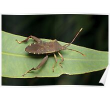 Sheild Bug - Amorbus sp. Poster