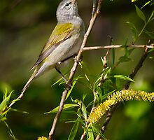 Tennesee Warbler by Rupert Mcgrath