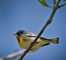 Parula Warbler by Rupert Mcgrath