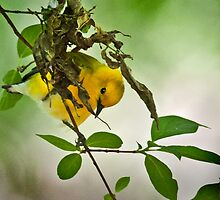 Prothonotary Warbler by Rupert Mcgrath