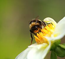 Busy Bumble by Aerhona