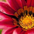 Hot Pink Gazania by Susan Brown