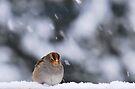 Snow Sparrow by Jean Poulton
