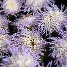 Purple Anemone by randomness